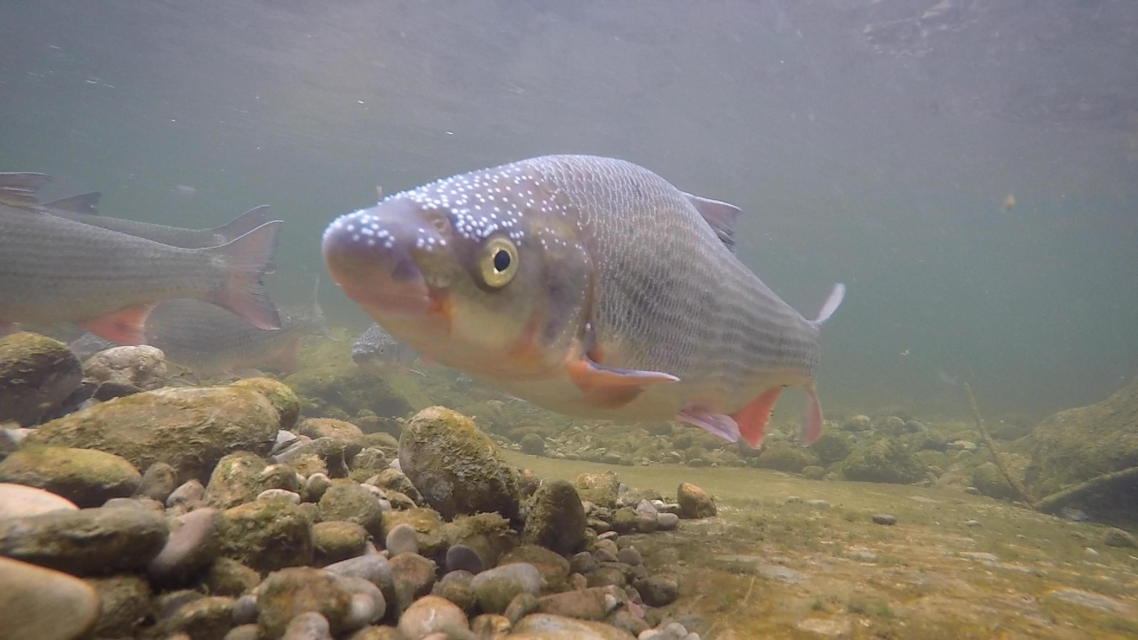 Fische müssen wandern
